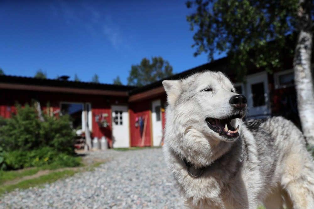 Posio Lapland-Kota-Huskys