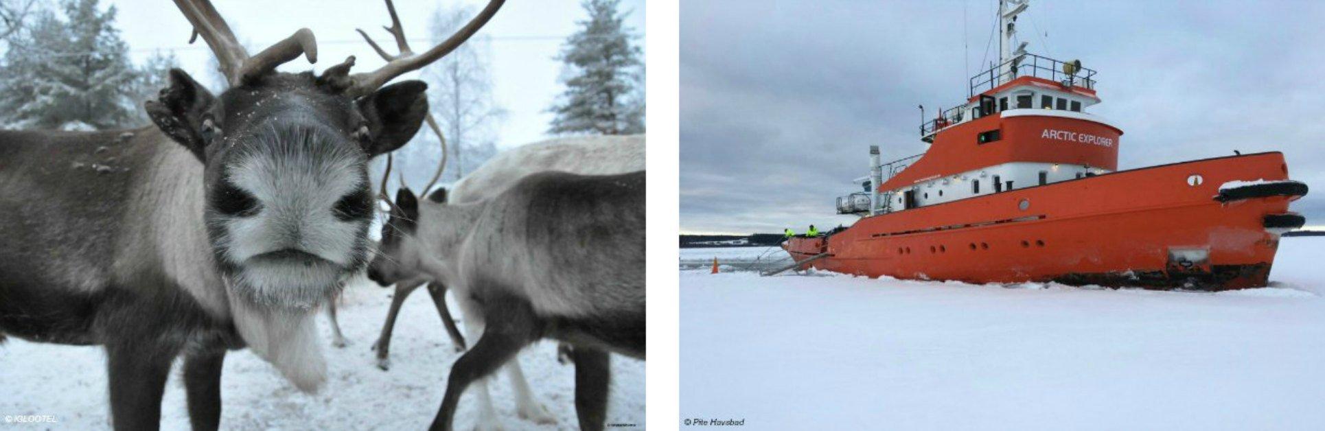 Rentiere und Eisbrecher in Schwedisch Lappland