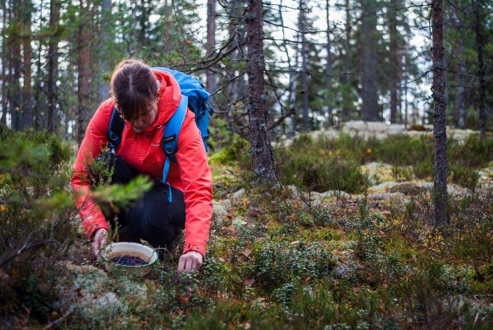 Beeren pflücken im Nationalpark Nuuksio in Espoo