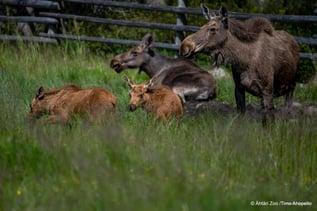 Seinäjoki - Ähtäri Zoo - Foto Ähtäri Zoo_Timo Ahopelto