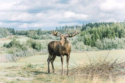 Älgens Hus-Moose