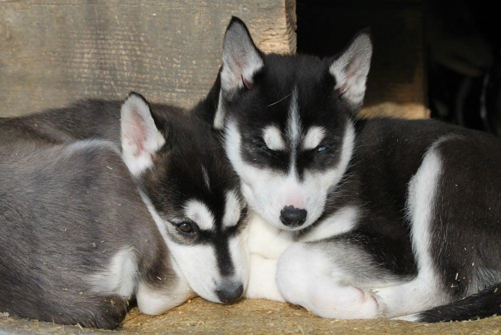 Huskies in Syöte