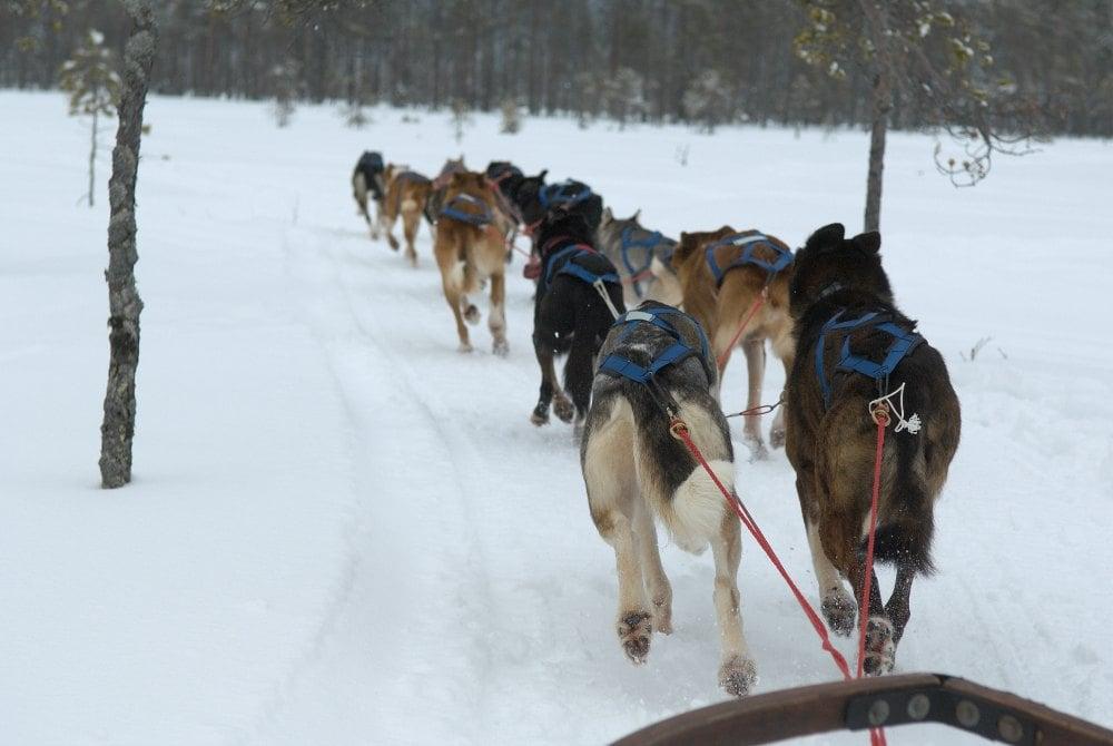 Svedjekojan-Hundegespann