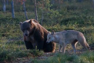 Bärenbeobachtung-Vuokatti
