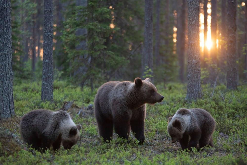 Lentiira-Bären