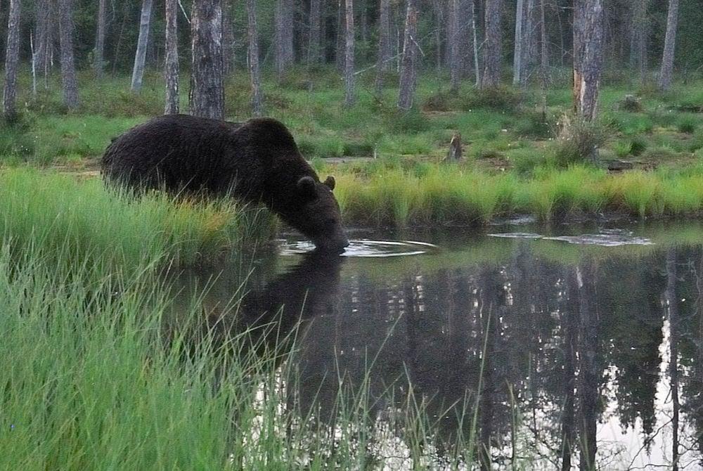 Bärenbeobachtung in der arktischen Seenlandschaft in Kainuu