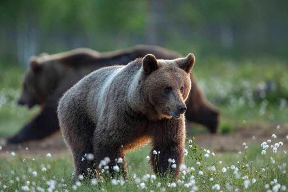 Bärenbeobachtung in Lentiira
