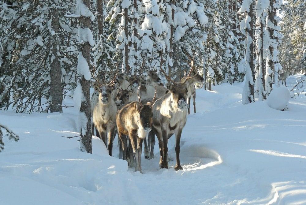 Poro Panuma Rentierfarm Syöte Winter