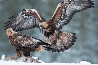 Finnland Rokua Wild Borealis Adler