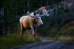 Anders Tedeholm_imagebank.sweden.se_white_moose