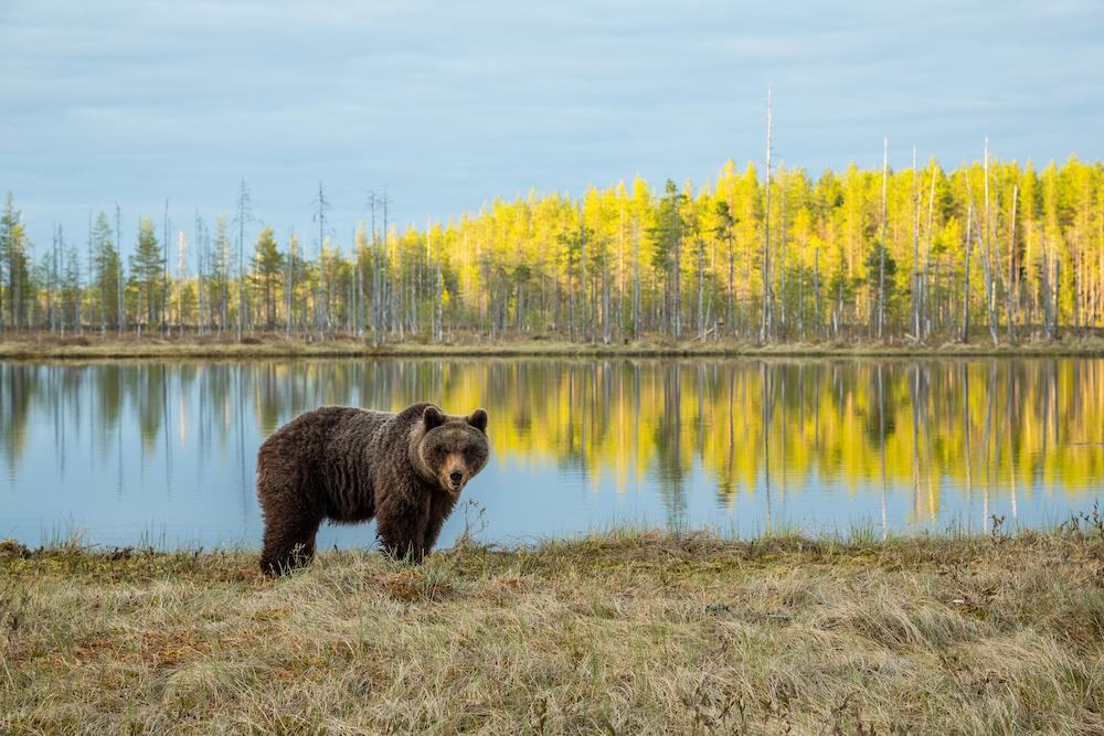 Finnland-Kulku-Erä-Eero bear at a lake © Erä-Eero