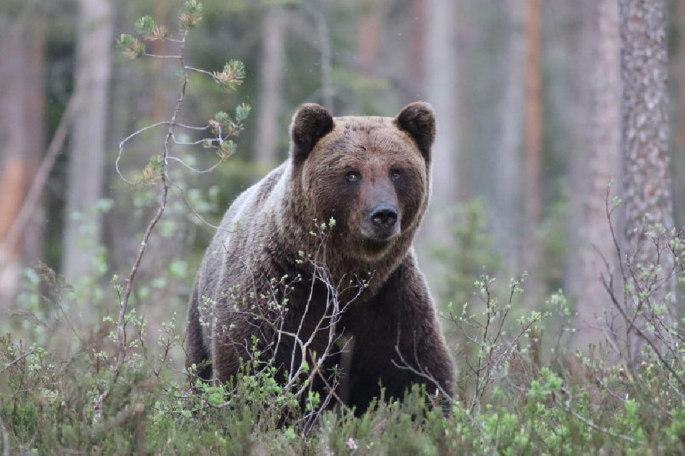 Taigavire-Bear watching