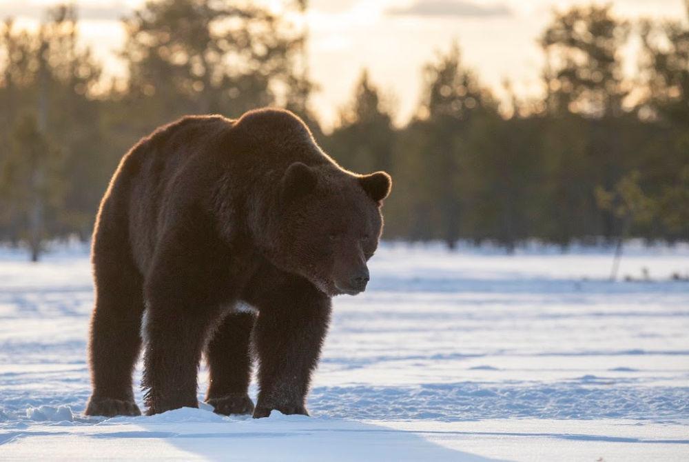 Boreal Wildlife Centre-Braunbär Frühlingswinter