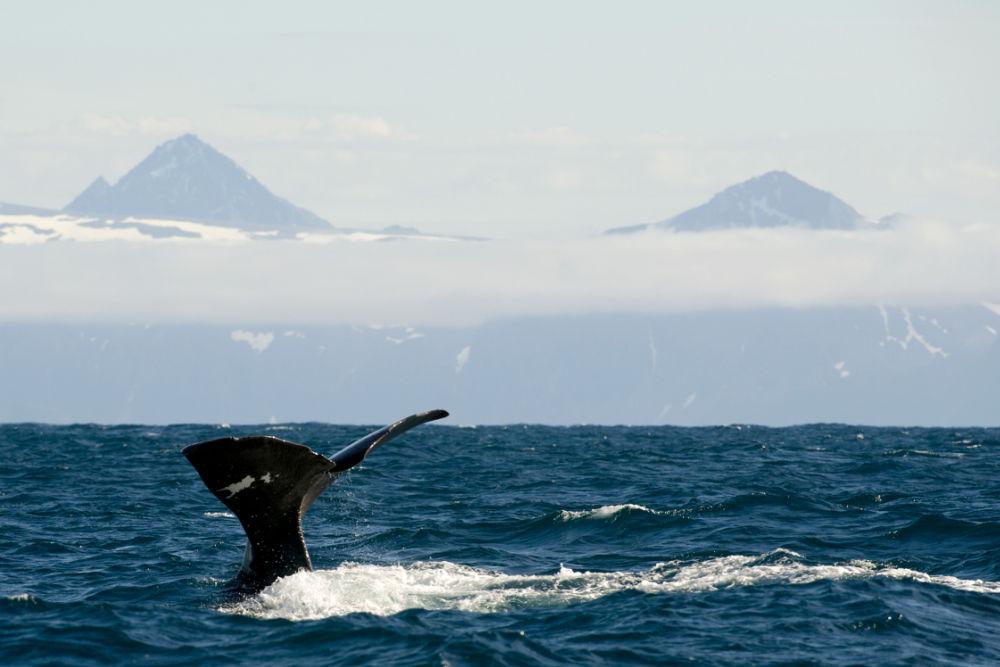 Whalesafari in Vesterålen